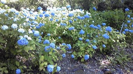 [写真]青いあじさいが広がる